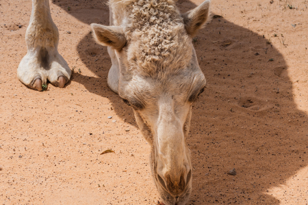 A grazing cute white dromedary camel in the desert Фото со стока