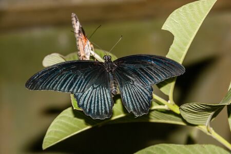 A tropical butterfly of family Papilionidae on a leaf Stock Photo