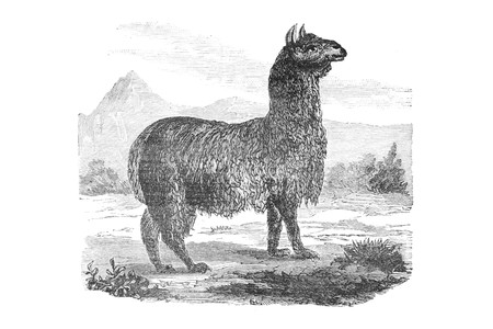 llama - Vintage Engraved Illustration, 1894 Фото со стока