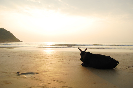 chillout: Chillout Indian Cow Stock Photo