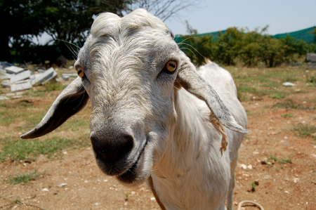 curious: Curious Goat Stock Photo