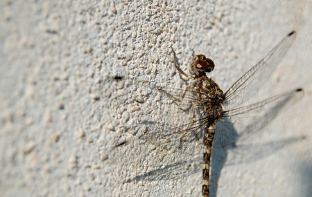 camouflaged: Camouflaged Dragonfly on White Wall Stock Photo