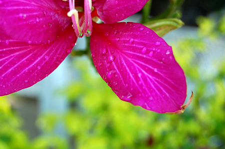 flores fucsia: Macro de flores fucsia parciales en fondo verde de desenfoque
