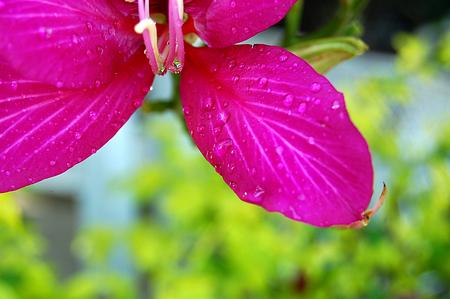 flores fucsia: Macro of Partial Fuchsia Flowers on Green Blur Background