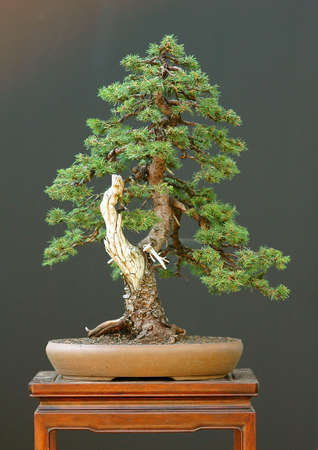 bonsai, European spruce, Picea abies, informal uprightht