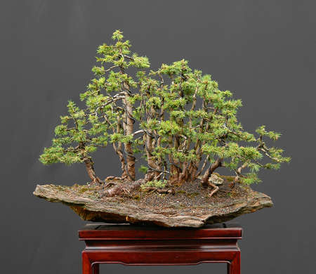 bonsai, European spruce, Picea abies, forest, on stone
