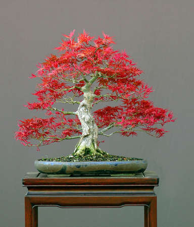 Japanese mapel, Acer palmatum, 35 cm high, around 40 years old, pot by Petra Tomlinson, styled by Walter Pall