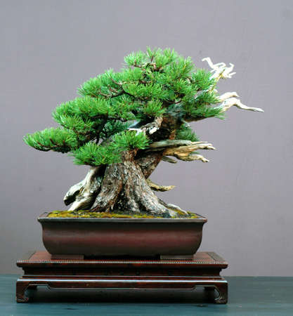 mugo pine, Pinus mugo, 50 cm high, around 200 years old, collected in Switzerland, styled by Walter Pall, pot by Derek Aspinall Stock Photo