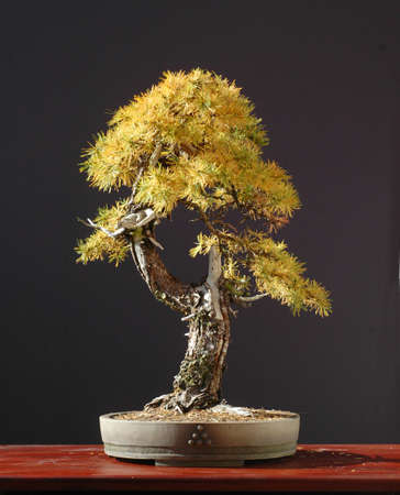 European larch, Larix decidua, 50 cm high, more thatn 100 years old, collected in Austria, pot by Derek Aspinall, stlyed by Walter Pall, informal upright form
