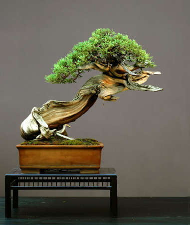 Rocky Mountain Juniper, Juniperus scopulorum, 50 cm high, more than 500 yeas old, collectd in Wyoming,  styled by Walter Pall, pot by Derek Aspinall, picutre summer 2006