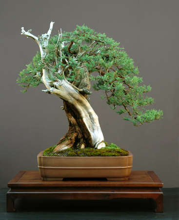 Rocky Mountain Juniper, Juniperus scopulorum, 70 cm high, more than 1000 yaers old (really!), collected in Colorado, styled by Walter Pall, pot Japanese, picture 10/2005