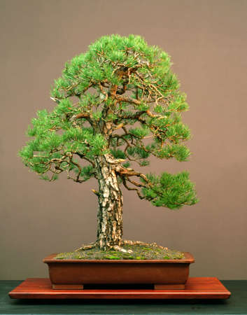 Scots pine, Pinus sylvestris, 90 cm high, arond 100 years old, pot Chinese, styled by Walter Pall, naturalistc style, picture 10/2005 Stock Photo
