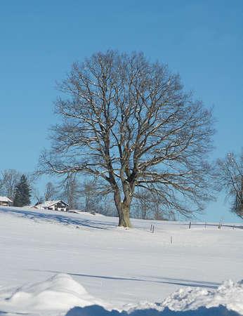 tilia: linden tree, Tilia platiphyllos, in Bavaria, Germany in January Stock Photo