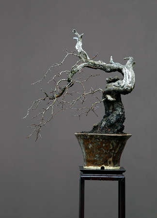 60 years old: European hawthorn, Crataegus monogyna, 50 cm high, around 60 years old, collected in Germany, styled by Walter Pall, picture in winter