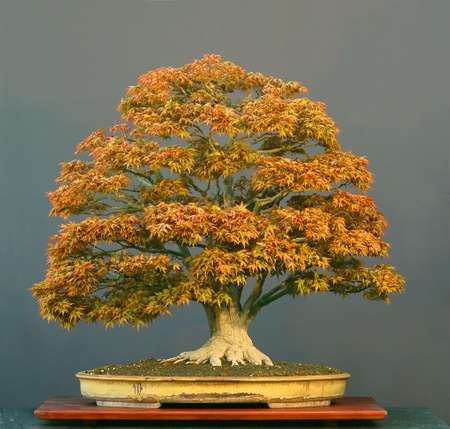 cm: Japanese maple, Acer palmatum, 90 cm high, about 100 years old, from imported raw material, styled by Walter Pall, informal broom form, picture 42006 Stock Photo