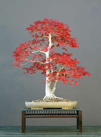 Japanese maple, variety: deshojo, Acer palmatum, 75 cm high, about 50 years old, spring color, original! not photoshopped!, styled by Walter pall from imprted raw material, pot by Drek Aspinall, picture 42006 photo
