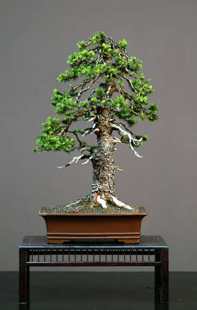 European spruce, Picea abies, 60 cm high, 100 years old, collected in Italy, styled by Walter Pall, picture 5/2006