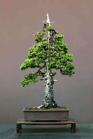 picea: European spruce, Picea abies, 90 cm high, 150 years old, collected in Germany, styled by Waltre Pall, pot by Derek Aspinall, formal upright form, picture 452006