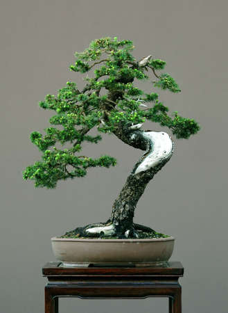 deadwood: spruce bonsai with deadwood, Picea abies Stock Photo
