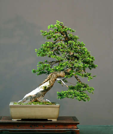 pall: European spruce, Picea abies, 60 cm high, 100 years old, pot Chinese, collected in Asutria, stlyed by Walter pall, picture 52006 Stock Photo