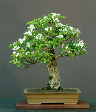 apple bonsai in bloom, Malus halliana