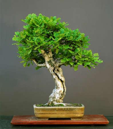 quercus: oak bonsai in sumemr, Quercus robur