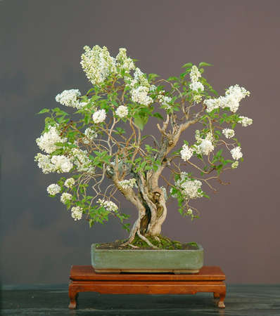 lilac bonsai in bloom, Syringa vulgaris