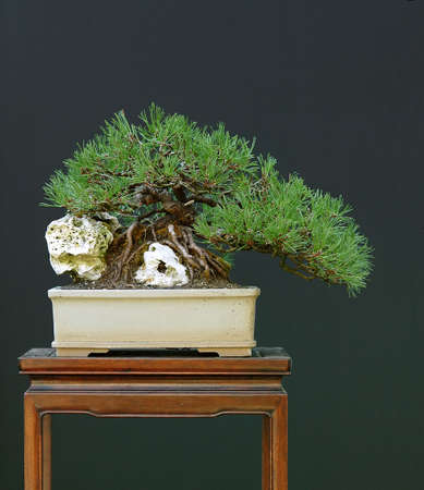 pinus sylvestris: Scots pine, Pinus sylvestris, collected in Austria, 25 cm high, around 50 years old, styled by Walter Pall, half-cascade style