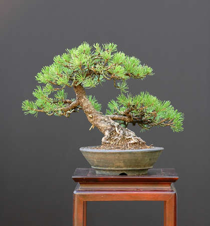 Scots pine, Pinus sylvestris, 30 cm high, from nursery material, about 35 years old, styled by Walter Pall