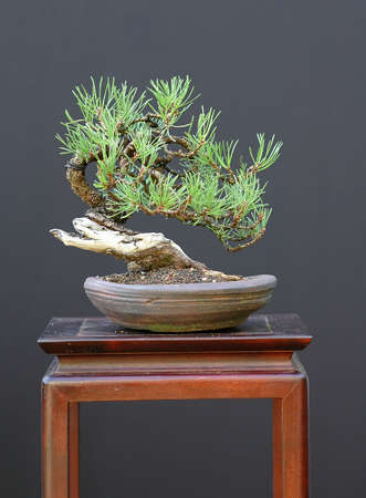 pinus sylvestris: Scots pine, Pinus sylvestris, collected in Austria, styled by Walter Pall, 25 cm high, shohin, around 50 years old Stock Photo