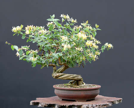 pall: climbing honeysuckle, Lonicera, from nursery stock, styled by Walter Pall, 50 cm high, 30 years old