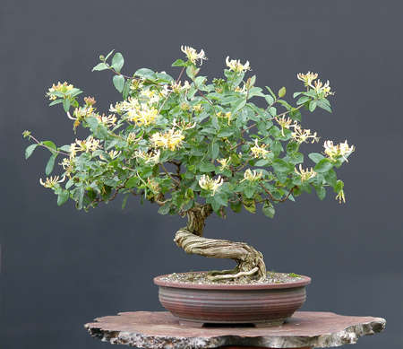 honeysuckle vine, Lonicera, from nurery stock, styld by Walter Pall, 50 cm high, 30 years old Stock Photo
