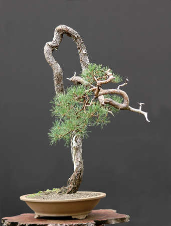 pall: Scots pine, Pinus sylvestris, 90 cm high, around 100 years old, collected in Sweden, styled by Walter Pall, literati (bunjin) style Stock Photo