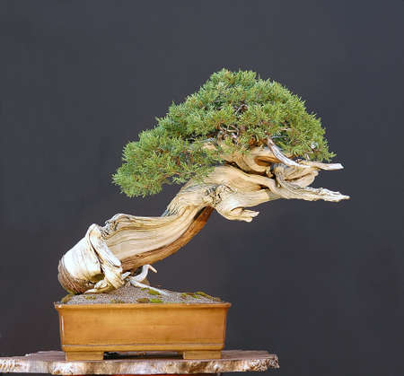Rocky Mountain Juniper, Juniperus scopulorum, collected in Wyoming, more than 500 years old (really!), styled by Walter Pall, pot by Derek Aspinall, 60 cm high