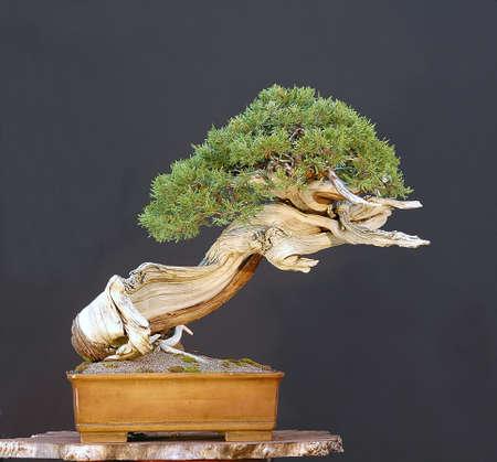 a juniper: Rocky Mountain Juniper, Juniperus scopulorum, recogidos en Wyoming, a m�s de 500 a�os (de verdad!), De estilo de Walter Pall, la olla de Derek Aspinall, 60 cm de alto