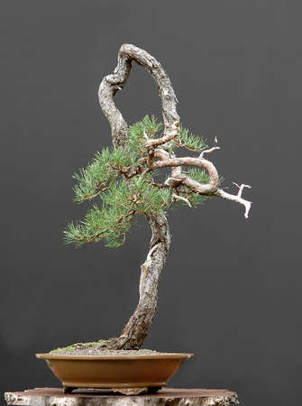 pinus sylvestris: Scots pine, Pinus sylvestris, 90 cm high, around 100 years old, collected in Sweden, styled by Walter Pall, literati (bunjin) style Stock Photo