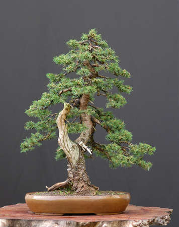 picea: European spruce, Picea abies, 50 cm high, 100 years old, collected in Switzerland, styled by Walter Pall, picture 52006 Stock Photo