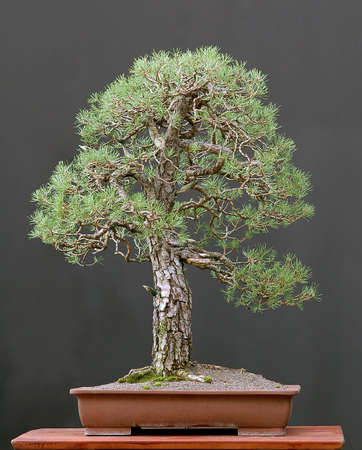 pinus sylvestris: Scots pine, Pinus sylvestris, 90 cm high, around 100 years old, collected in Germany, styled by Walter Pall