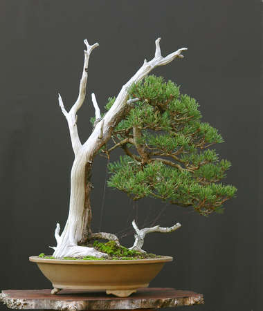 deadwood: mugo pine bonsai with deadwood
