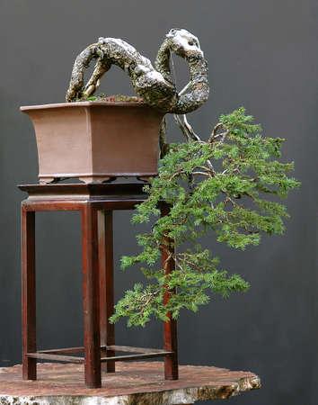 picea: European spruce bonsai cascade, Picea abies