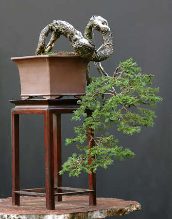 European spruce bonsai cascade, Picea abies Stock Photo - 694782