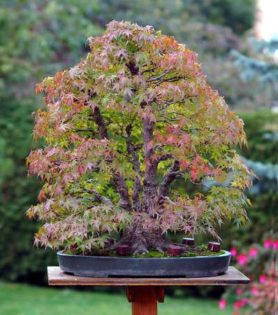 acer palmatum: Japense maple, Acer palmatum, 65 cm high, more than 50 years old, multitrunk, Japense import