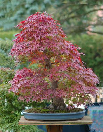 Japanese maple, Acer palmatum, 70 cm high, Japanese import, around 50 years old