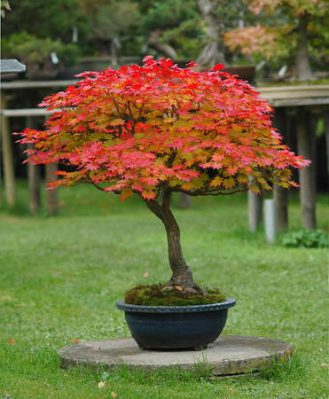 acer: Japanese garden maple, Acer japonicum, 30 years old, from nursery stock, picture 102006 Stock Photo