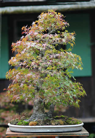 Japanese maple, acer palmatum, 65 cm high, around 50 years old, import from japan, twin trunk, picutre 102006 photo