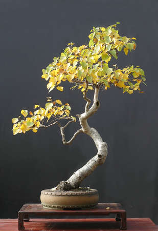 betula pendula: Europeo di frusta, Betula pendula, 90 cm di altezza, circa 50 anni, raccolti in Austria, in stile da Walter Pall, pentola da Derek Aspinall, picture 102006