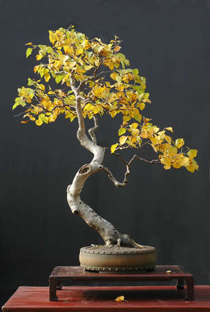 betula: European birch, Betula pendula, 90 cm high, collected in Asutria, styled by Walter Pall, pot by Derek Aspinall, picture 102006