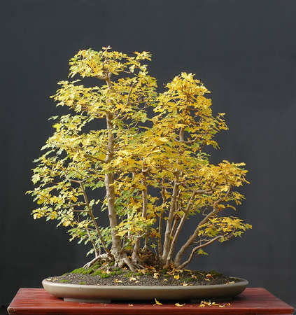 field maple: European field maple, Acer campestre, 80 cm high, around 40 years old, collected in Austria, styled by Walter Pall, pot by Derek Aspinall, clump style, picture 102006