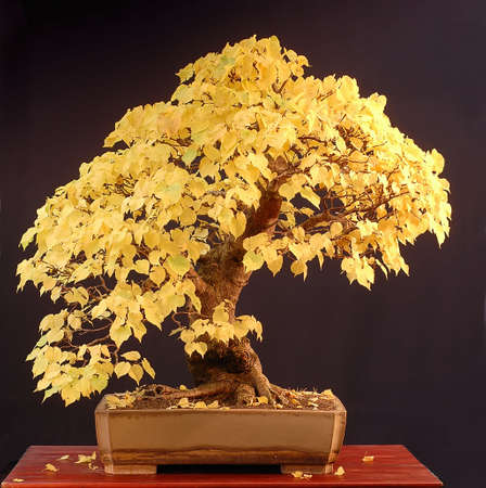 tilia cordata: European linden (lime tree), Tila cordata, 80 cm high, arond 50 years old, collected in Germany, styled by Walter Pall, pot by Derek Aspinall, picture 102006 Stock Photo