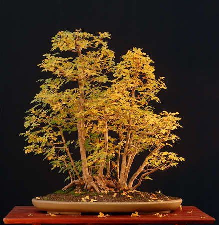 field maple: European field maple, acer campestre, 90 cm high, around 50 years old, collected in Austria, styled by Walter Pall ,pot by Derek Aspinall, picture 102006 Stock Photo